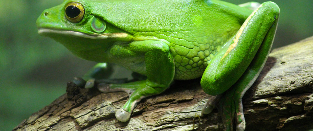 green_tree_frog_by_lifeofageek-d4r7xc5