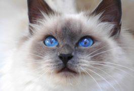 chat-siamois,-yeux-bleus-191150