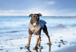 chien bleu bon poix