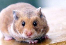 hamster bleur et bran