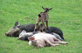 chèvre cochons