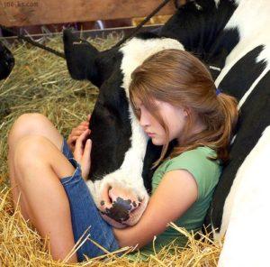 vache caline